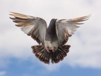 Vogelnet plaatsen om kraaien en duiven te weren